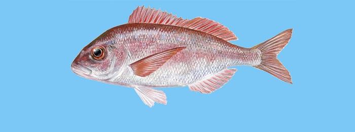 Fish Guide: Ένας οδηγός για να μάθετε ποια είναι τα ελληνικά ψάρια (Φωτό)